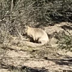 Vombatus ursinus (Wombat) at Bungendore, NSW - 5 May 2018 by yellowboxwoodland