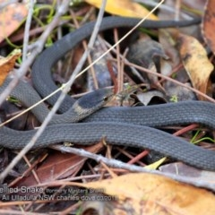Drysdalia rhodogaster (Mustard-bellied Snake) at One Track For All - 22 Mar 2018 by Charles Dove