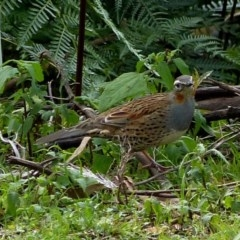 Cinclosoma punctatum (Spotted Quail-thrush) at Brogo, NSW - 11 Jun 2012 by MaxCampbell