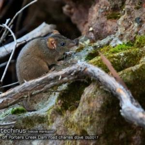 Antechinus stuartii at Morton National Park - 2 May 2018
