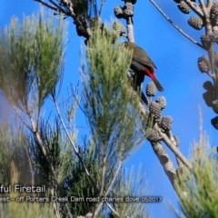 Stagonopleura bella (Beautiful Firetail) at Morton National Park - 1 May 2018 by Charles Dove