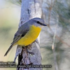 Eopsaltria australis (Eastern Yellow Robin) at Garrad Reserve Walking Track - 4 May 2018 by Charles Dove