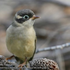 Melithreptus (Eidopsarus) brevirostris (Brown-headed Honeyeater) at South Pacific Heathland Reserve - 3 Apr 2018 by Charles Dove