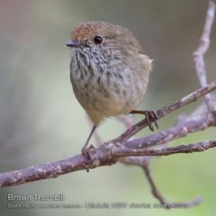 Acanthiza pusilla (Brown Thornbill) at South Pacific Heathland Reserve - 4 Apr 2018 by Charles Dove