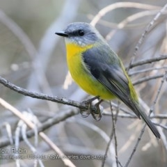 Eopsaltria australis (Eastern Yellow Robin) at South Pacific Heathland Reserve - 13 Apr 2018 by Charles Dove