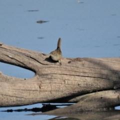 Poodytes gramineus (Little Grassbird) at Jerrabomberra Wetlands - 7 May 2018 by KumikoCallaway