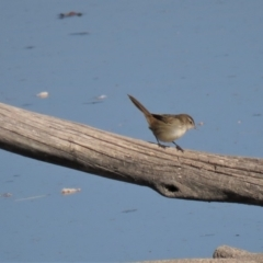 Poodytes gramineus at Jerrabomberra Wetlands - 7 May 2018