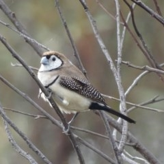 Taeniopygia bichenovii (Double-barred Finch) at Mount Taylor - 29 Apr 2018 by roymcd