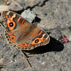 Junonia villida (Meadow Argus) at Undefined - 13 Apr 2018 by Charles Dove