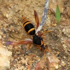 Abispa sp. (Potter Wasp) at Currarong, NSW - 2 Jan 2016 by HarveyPerkins