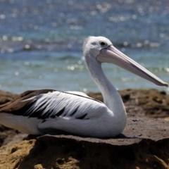 Pelecanus conspicillatus (Australian Pelican) at Abrahams Bosom Walking Track - 25 Dec 2011 by HarveyPerkins