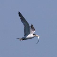 Thalasseus bergii (Crested Tern) at Jervis Bay Marine Park - 25 Dec 2011 by HarveyPerkins