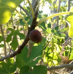 Ficus carica (Fig) at Kama - 5 May 2018 by MattM