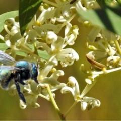 Xylocopa aeratus (Metallic Green Carpenter Bee) at ANBG - 7 May 2018 by RodDeb