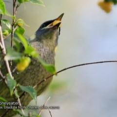Meliphaga lewinii (Lewin's Honeyeater) at Ulladulla - Millards Creek - 6 Apr 2018 by Charles Dove