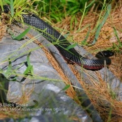 Pseudechis porphyriacus (Red-bellied Black Snake) at Milton Rainforest Walking Track - 3 Apr 2018 by Charles Dove