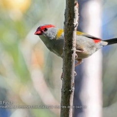 Neochmia temporalis (Red-browed Finch) at South Pacific Heathland Reserve - 14 Apr 2018 by Charles Dove