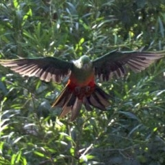 Alisterus scapularis (Australian King-parrot) at Undefined - 25 Apr 2018 by jbromilow50