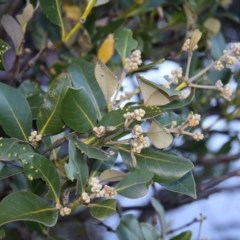 Avicennia marina subsp. australasica (Grey Mangrove) at Broulee Island Nature Reserve - 9 May 2015 by HarveyPerkins