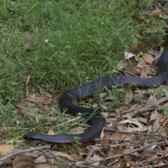 Pseudechis porphyriacus (Red-bellied Black Snake) at Mogo State Forest - 24 Mar 2018 by jbromilow50