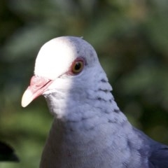 Columba leucomela (White-headed Pigeon) at Undefined - 25 Apr 2018 by jbromilow50