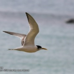 Thalasseus bergii (Crested Tern) at Undefined - 2 Apr 2018 by Charles Dove