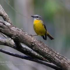 Eopsaltria australis (Eastern Yellow Robin) at One Track For All - 4 Apr 2018 by Charles Dove