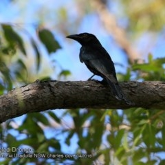 Dicrurus bracteatus (Spangled Drongo) at One Track For All - 4 Apr 2018 by Charles Dove