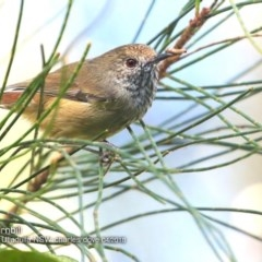 Acanthiza pusilla (Brown Thornbill) at Ulladulla - Millards Creek - 3 Apr 2018 by Charles Dove