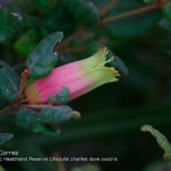 Correa reflexa var. reflexa (Common Correa) at South Pacific Heathland Reserve - 1 Apr 2018 by Charles Dove