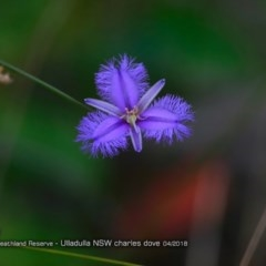 Thysanotus tuberosus subsp. tuberosus (Common Fringe Lily) at South Pacific Heathland Reserve - 4 Apr 2018 by Charles Dove