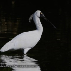 Platalea regia (Royal Spoonbill) at Wairo Beach and Dolphin Point - 6 Apr 2018 by Charles Dove