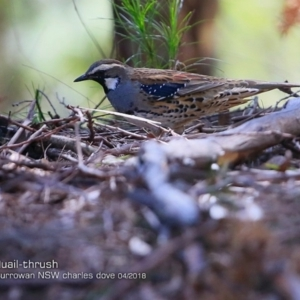Cinclosoma punctatum at Currowan State Forest - 3 Apr 2018