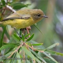 Acanthiza nana (Yellow Thornbill) at Ulladulla - Millards Creek - 5 Apr 2018 by Charles Dove