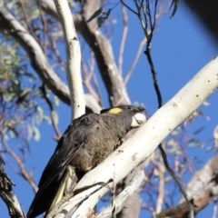 Calyptorhynchus funereus (Yellow-tailed Black-Cockatoo) at Bruce, ACT - 10 May 2018 by Alison Milton