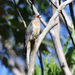 Cacomantis flabelliformis (Fan-tailed Cuckoo) at Ulladulla, NSW - 20 Nov 2010 by HarveyPerkins