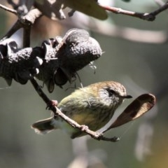 Acanthiza lineata (Striated Thornbill) at Narrawallee Foreshore Reserves Walking Track - 19 Nov 2010 by HarveyPerkins