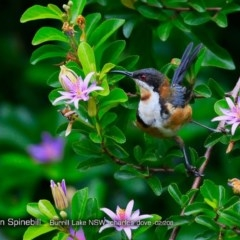 Acanthorhynchus tenuirostris (Eastern Spinebill) at Wairo Beach and Dolphin Point - 5 Feb 2018 by Charles Dove