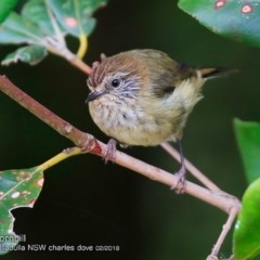 Acanthiza lineata (Striated Thornbill) at Ulladulla - Millards Creek - 3 Feb 2018 by Charles Dove