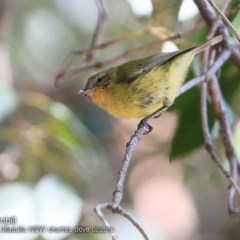 Acanthiza nana (Yellow Thornbill) at Ulladulla - Millards Creek - 3 Feb 2018 by Charles Dove