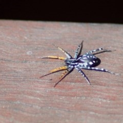Nyssus coloripes (Spotted Ground Swift Spider) at Aranda, ACT - 25 Mar 2011 by KMcCue