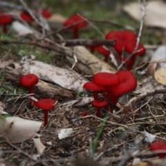 Agarics gilled fungi at Currarong - Abrahams Bosom Beach - 23 Apr 2011 by HarveyPerkins