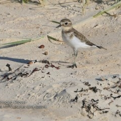 Charadrius bicinctus (Double-banded Plover) at Conjola Bushcare - 11 Feb 2018 by Charles Dove