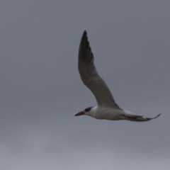 Hydroprogne caspia (Caspian Tern) at Jervis Bay National Park - 25 Apr 2011 by HarveyPerkins