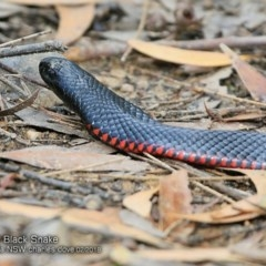 Pseudechis porphyriacus (Red-bellied Black Snake) at Conjola Bushcare - 10 Feb 2018 by Charles Dove