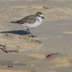 Charadrius ruficapillus (Red-capped Plover) at Conjola Bushcare - 13 Feb 2018 by Charles Dove