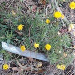 Xerochrysum viscosum (Sticky everlasting) at Deakin, ACT - 10 May 2018 by JackyF