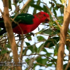 Alisterus scapularis (Australian King-parrot) at Undefined - 14 Feb 2018 by Charles Dove