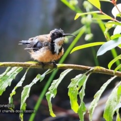Acanthorhynchus tenuirostris (Eastern Spinebill) at South Pacific Heathland Reserve - 15 Feb 2018 by Charles Dove
