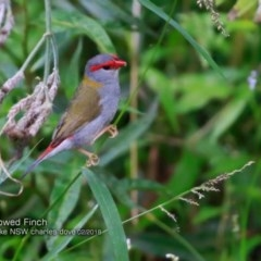 Neochmia temporalis (Red-browed Finch) at Wairo Beach and Dolphin Point - 14 Feb 2018 by Charles Dove